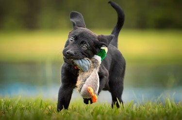Black lab puppy playing