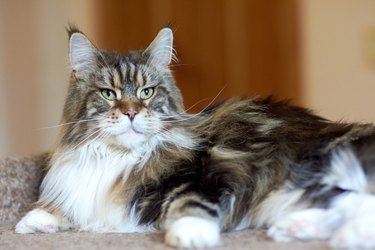 Portrait of a domestic cat breed Maine Coon color cakes in the apartment