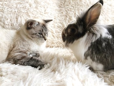 Close-Up Of Rabbit And Cat Relaxing On Rug