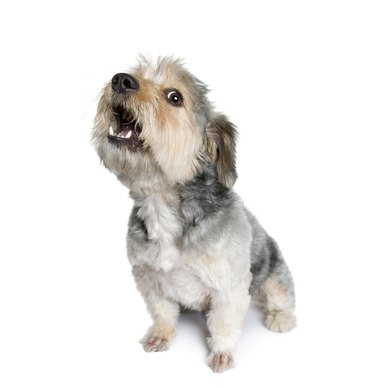 Cross Breed dog barking