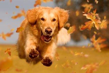 Dog, golden retriever jumping through autumn leaves