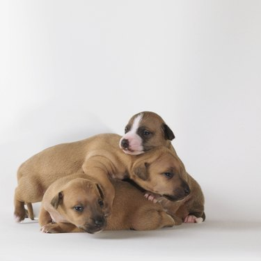 3 1-week-old puppies playing