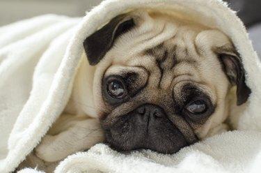 pug puppy lying under blanket