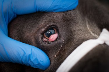 Cane corso with cherry eye, prepared for surgery
