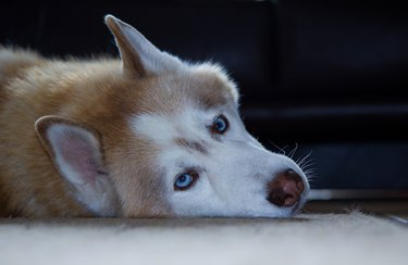 Portrait of a Husky Dog lying down