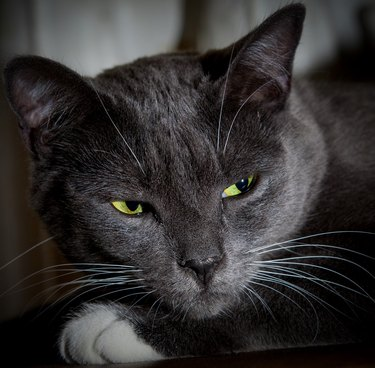 Black cat with glowing green eyes. Close-up of a predatory face