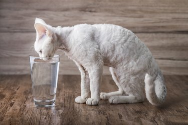 A white little cat drinking water from a glass