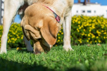 large dog sniffing the grass