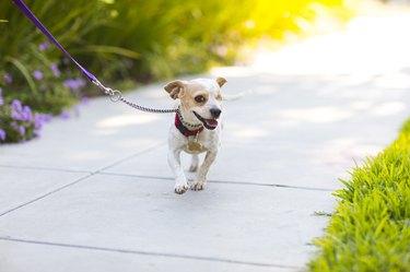 Happy Beagle on a Sidewalk - The Amanda Collection