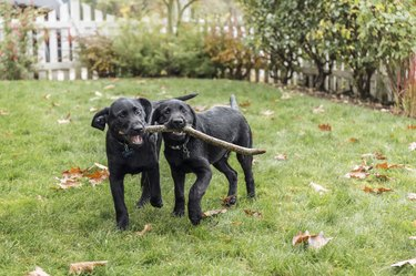 Three month old black Labrador Retriever puppies struggling to fetch stick, Bellevue, Washington State, USA