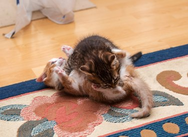 Two cute kittens playing and fighting on the carpet