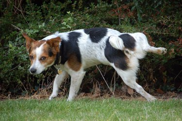 Jack Russell Terrier Dog urinating on bush