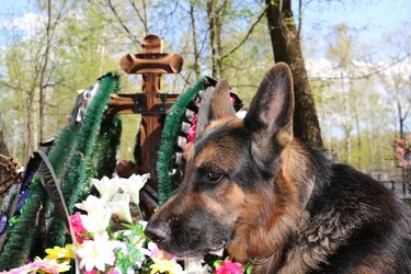 German shepherd dog near the grave of the owner