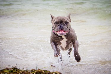 French bulldog running out of the ocean