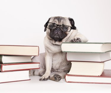 smart intelligent pug puppy dog with reading glasses, sitting down between piles of books