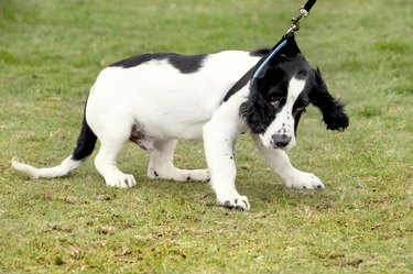 Cocker Spaniel Puppy pulling on the lead