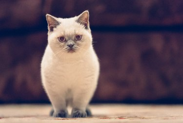 British Shorthair Lilac Colorpoint Kitten