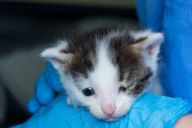 kitten with conjunctivitis at the veterinary clinic