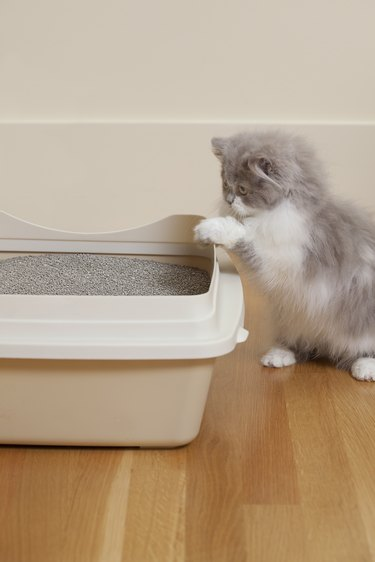 Persian Kitten looking at litter box