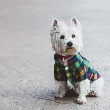Cute west highland terrier wearing a plaid jacket