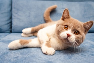A cute British lilac white bicolour cat is lying on a blue sofa