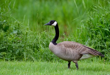 Adult Canada Goose in green grass.