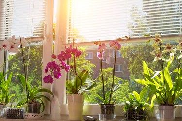blooming Phalaenopsis Orchids on window