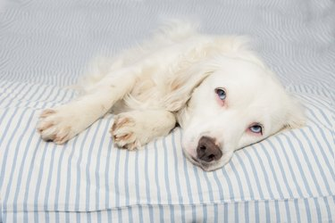 CUTE YOUNG TERRIER DOG WITH BLUE EYES FALLING ASLEEP ON STRIPPED BED OWNER. SICK,SAD OR RELAXING.