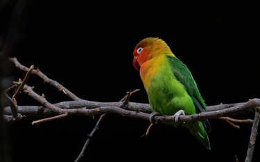 White eye-ringed lovebird parrot on a dark background