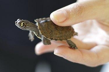 Pet baby turtle in hand