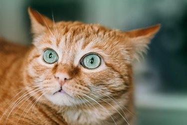Green eyes of Ginger cat