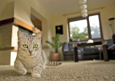Cat in the living room