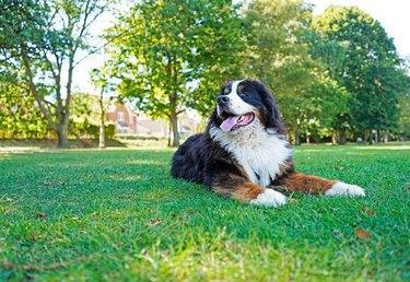Happy, large Bernese Mountain Dog lying on the green grass in the dog friendly park, looking away from the camera.