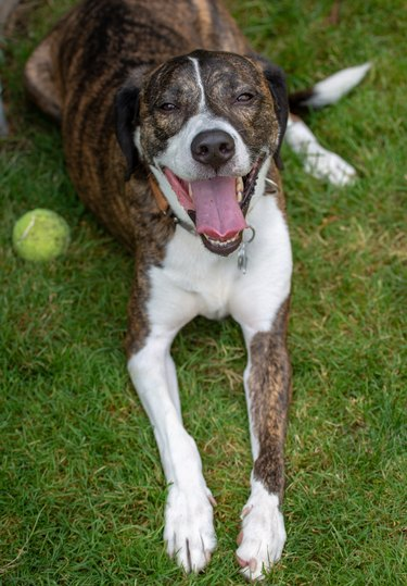 Happy dog with tennis ball