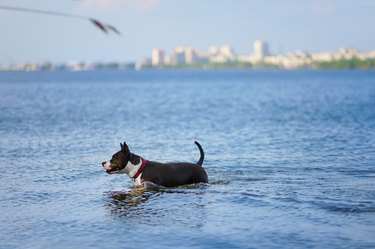 Dog standing in blue lake with blurred city view in the background. Happy american staffordshire terrier having fun in summer river.