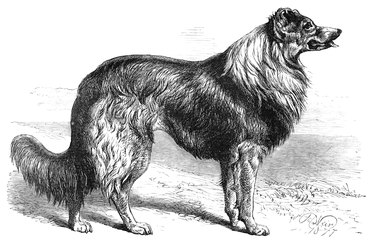 Collie Dog Engraving