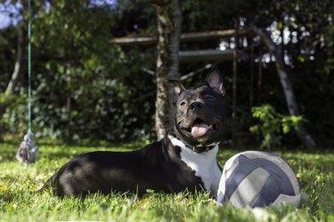 American Sttafordshire terrier