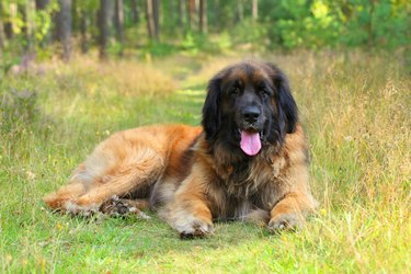Leonberger dog, outdoor portrait
