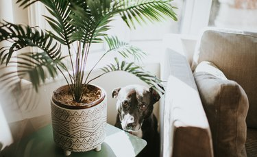 Dog looking guilty behind houseplant