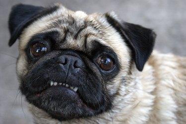 Pug Showing Teeth