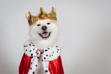 shiba inu dog king wearing robe and crown