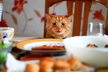 Cheeky cat looking at food on dining table