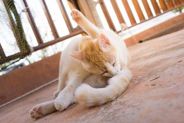 Playful silly cute pet Cat grooming butt