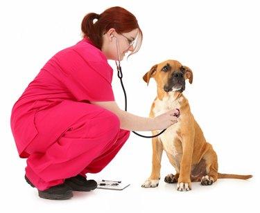 Boxer getting a checkup