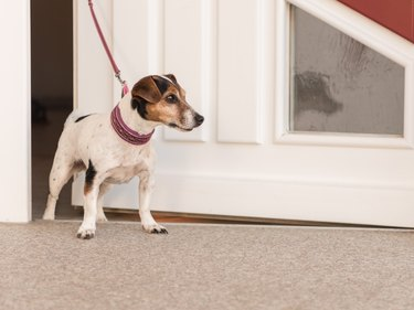 dog waiting at the door, ready for a walk - Jack Russell Terrier