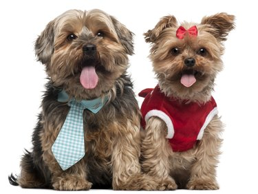 Yorkshire Terriers dressed up sitting