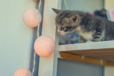 little gray kitten sits on a shelf with a garland of round bulbs