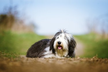 beautiful fun Bearded Collie dog Old English Sheepdog puppy rela