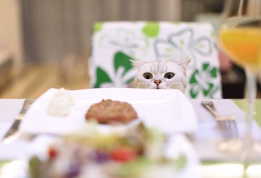 A Scottish Fold smell the food on the table.