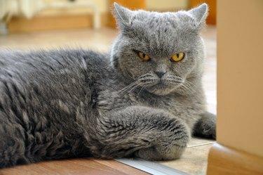 Portrait of British Shorthair blue cat.